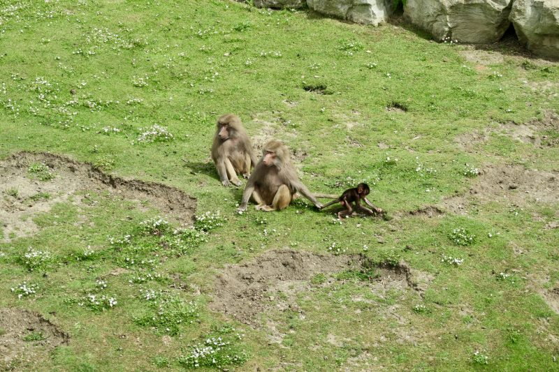 A family of baboons at the Flamingo Land Zoo