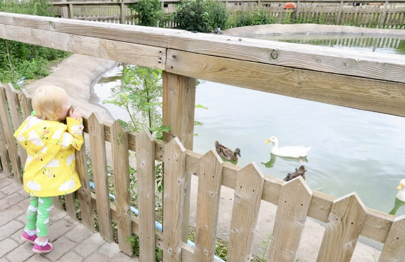 a toddler wearing a bright yellow raincoat on her tip toes peering over a small fence looking at some ducks swimming in a pond at Flamingo Land Theme Park