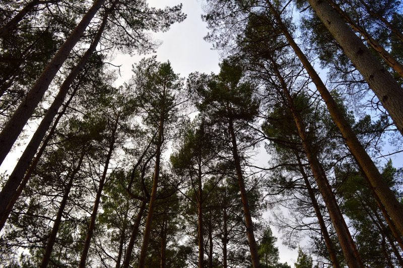 Some tall trees at Hamsterly Forest