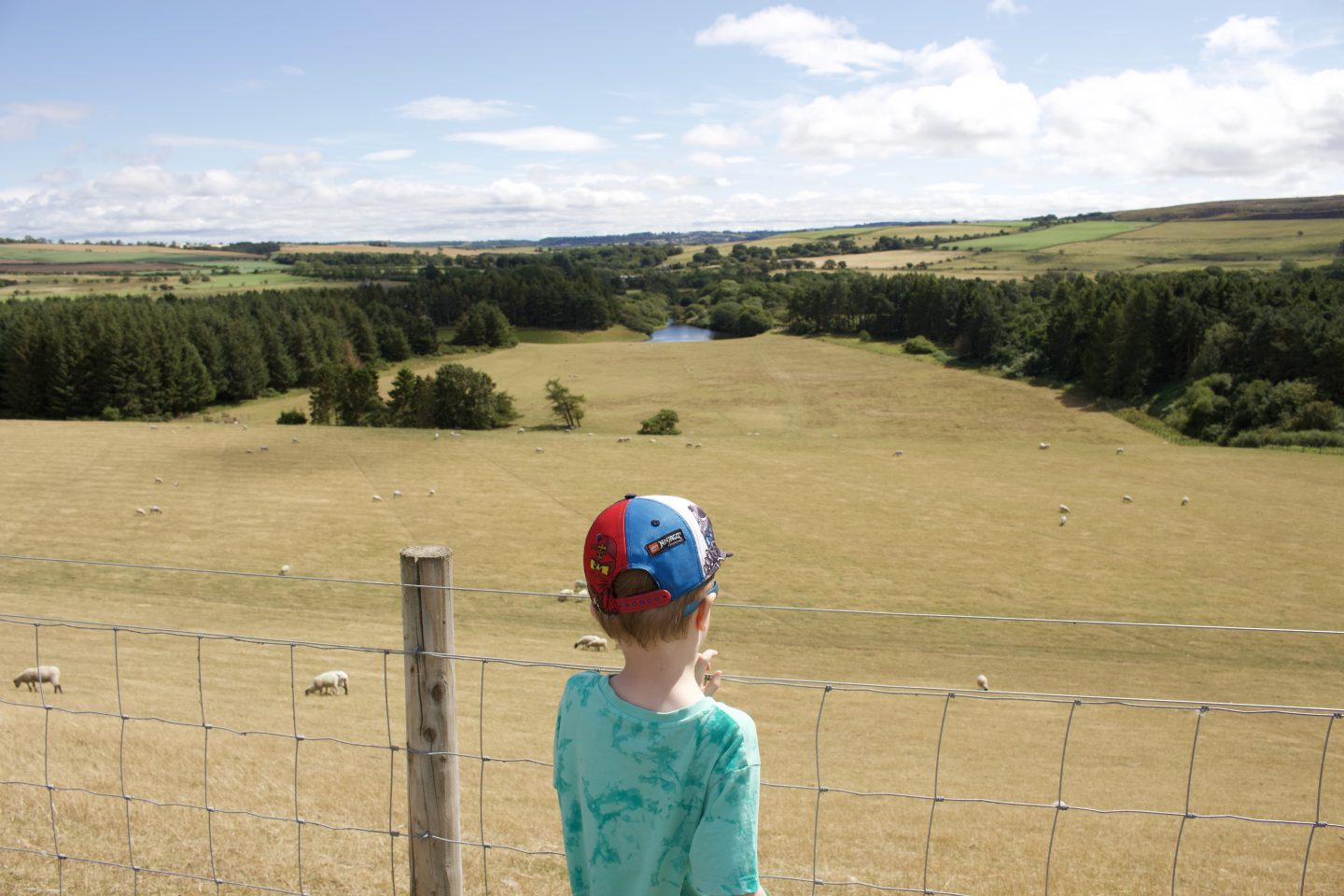 A boy looking at a field of sheep